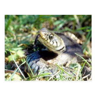 Grass snake postcard