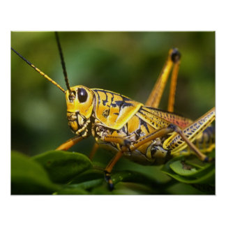 Grasshopper, Everglades National Park, Florida, Poster