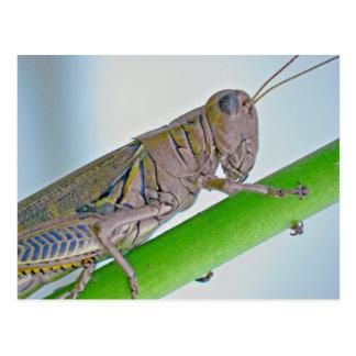 Grasshopper Postcard. Postcard