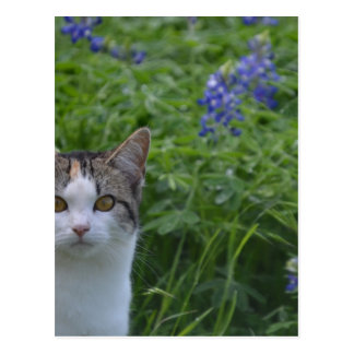 Gray and white cat in field of blue bonnets postcard