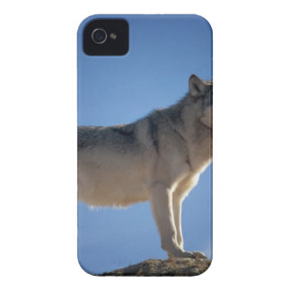 Gray and White Fox Standing on Brown Rock Field iPhone 4 Case