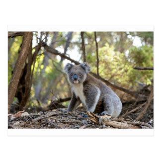 Gray and White Koala Bear Postcard