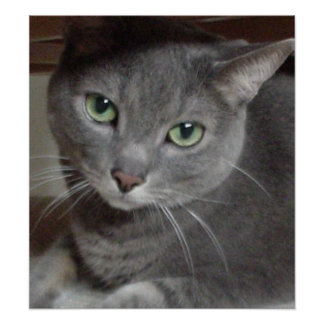 Gray Cat Russian Blue Poster