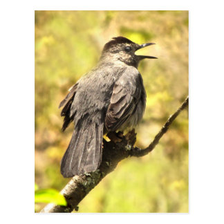 Gray Catbird Sings His Song Postcard