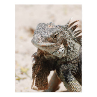 Gray Iguana Postcard