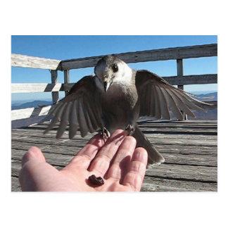 Gray Jay on Mt Carrigain Postcard