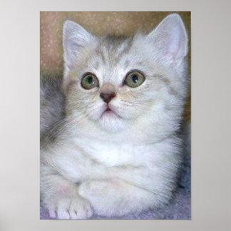 Gray kitten poster