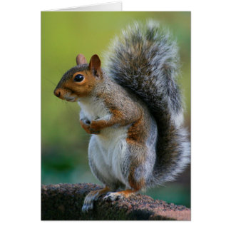 """Gray Squirrel """"Itchy Belly."""" 5x7 Greeting Card"""