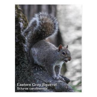 Gray Squirrel Postcard