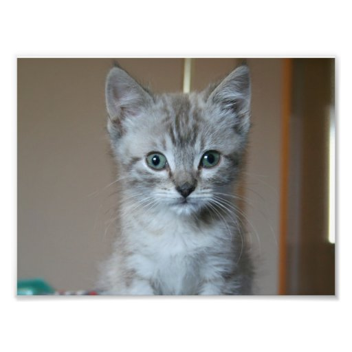 Gray Tabby Kitten Photo Print