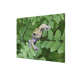 Gray tree frog on fern, Canada Canvas Print