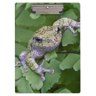 Gray tree frog on fern, Canada Clipboard