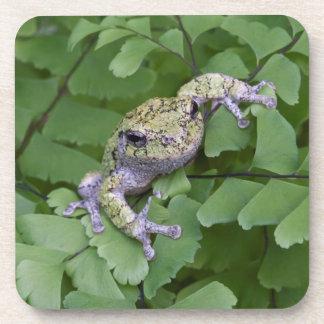 Gray tree frog on fern, Canada Coaster