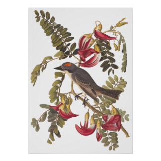 Gray Tyrant Kingbird Audubon Vintage Art Bookplate Poster