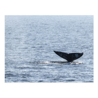 Gray Whale Tail Postcard