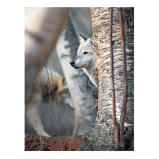 Gray Wolf Behind Tree Postcard