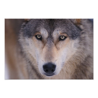 gray wolf, Canis lupus, close up of eyes in Poster