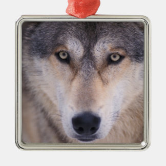 gray wolf, Canis lupus, close up of eyes in Silver-Colored Square Ornament