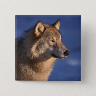 gray wolf, Canis lupus, in the foothills of 2 2 Inch Square Button