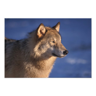 gray wolf, Canis lupus, in the foothills of 2 Photo