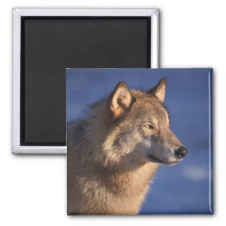 gray wolf, Canis lupus, in the foothills of 2 Square Magnet