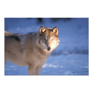 gray wolf, Canis lupus, in the foothills of Photo Art