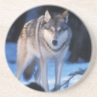 gray wolf, Canis lupus, in the foothills of the 3 Coaster