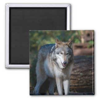 Gray wolf square magnet