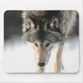 Gray wolf walking mouse pad