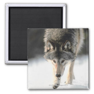 Gray wolf walking square magnet