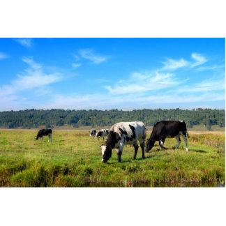 Grazing Cows Standing Photo Sculpture