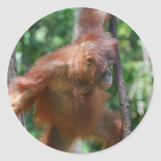 Great Ape Orangutan Classic Round Sticker