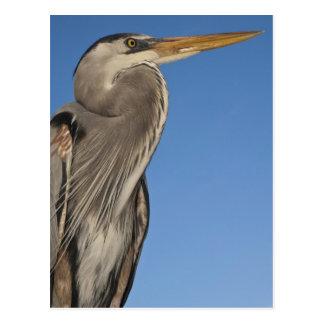 Great Blue Heron Ardea herodias) Puerto Postcard