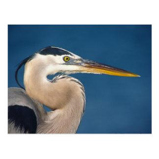 Great Blue Heron (Ardea herodias). USA, Florida, Postcard