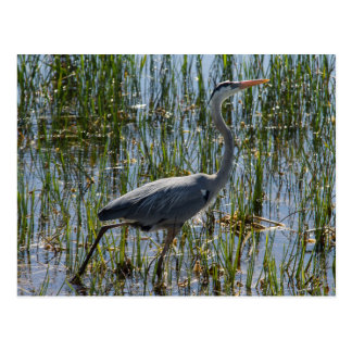 Great Blue Heron Bird Marsh Postcard
