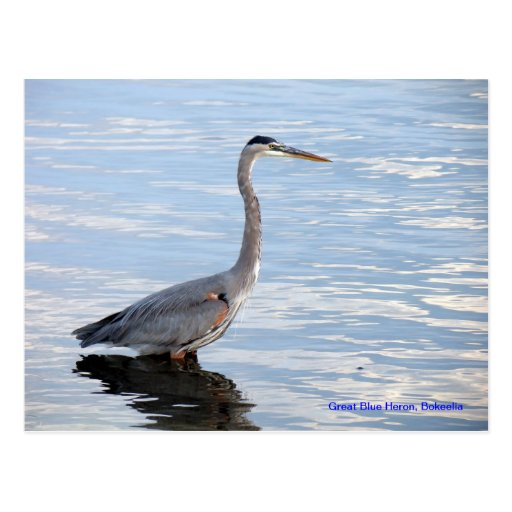Great Blue Heron, Bokeelia Postcards