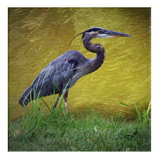 Great Blue Heron By The Bank Acrylic Wall Art
