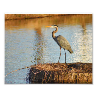 Great Blue Heron of Keene Photo Print