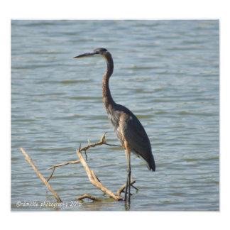 Great Blue Heron Photo Print