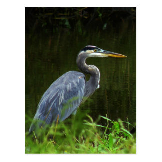 Great Blue Heron Postcard 3