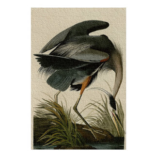 Great Blue Heron Poster Print