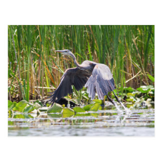 Great Blue Heron taking off Post Card