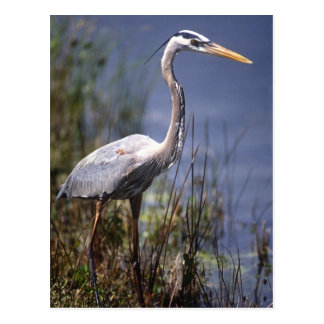 Great Blue Heron water bird found throughout Postcard