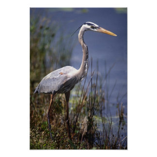 Great Blue Heron water bird found throughout Poster