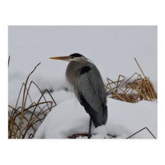 Great Blue Heron winter Postcard