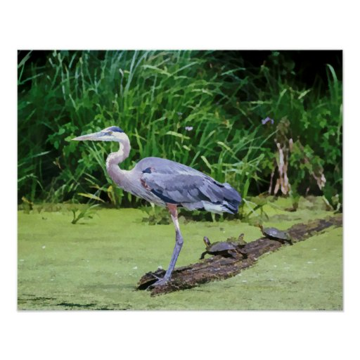 Great Blue Heron with Turtles on a log at the Lake Poster