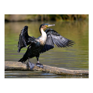 Great Cormorant with opened wings Postcard