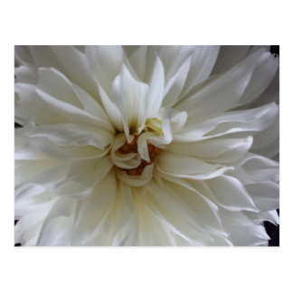 Great Dahlia 1 - educatedbrainfart Postcard