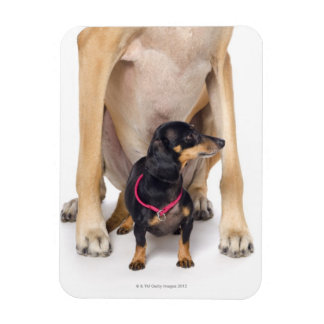 Great Dane and Dachshund portrait Rectangular Photo Magnet