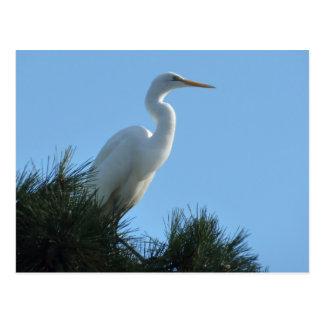 Great Egret in Sunny Florida Postcard